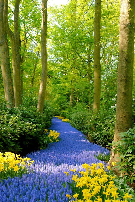 PATH OF LUPINS
